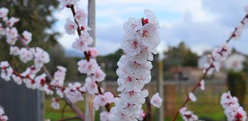 fiori_albicocca